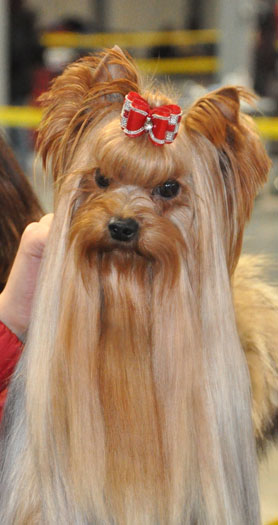Cinderella Of New Deal yorkshire terrier