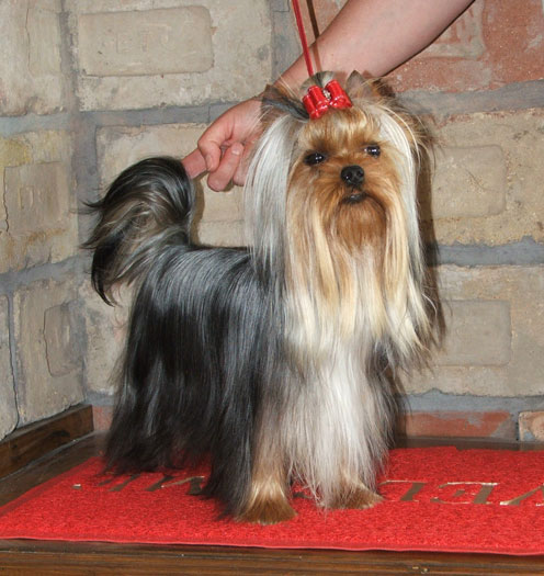 Dinky Of New Deal yorkshire terrier