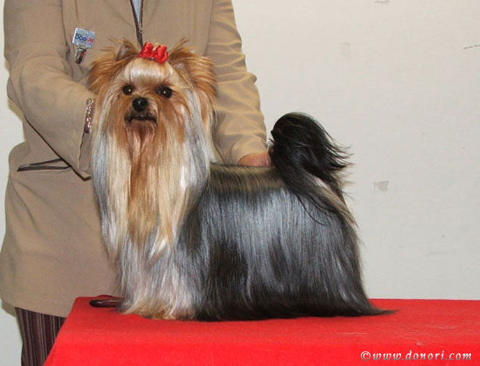 Normajean Of New Deal yorkshire terrier