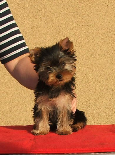 Passionate Of New Deal yorkshire terrier