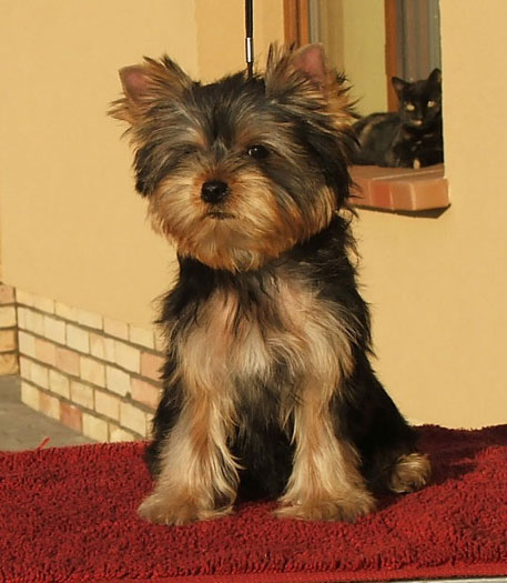 Prometheus Of New Deal yorkshire terrier