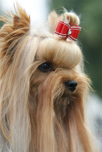 Rob-Roy Of New Deal yorkshire terrier