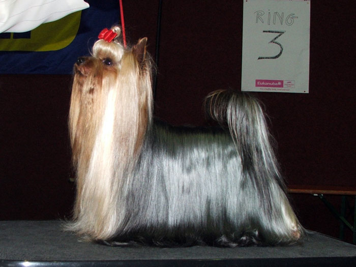 Rock and Gold Turbo yorkshire terrier