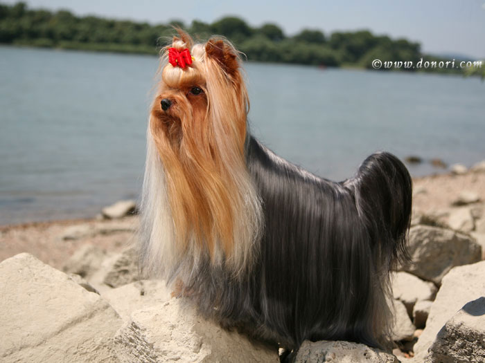 V.I.P. of Padawi's yorkshire terrier