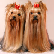 yorkshire terrier kennel