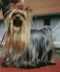 Coster Of New Deal yorkshire terrier