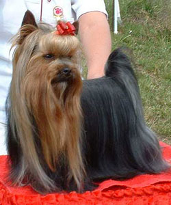 Free Styler Of New Deal yorkshire terrier