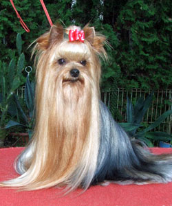 Highlife Of New Deal yorkshire terrier