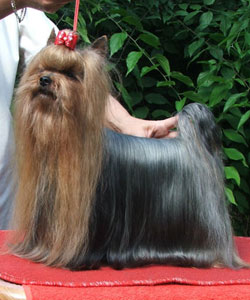 O'Brian Of New Deal yorkshire terrier