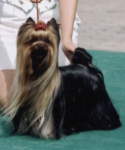 Phenomenal Witch Of New Deal yorkshire terrier
