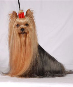 Rolly-Polly Of New Deal yorkshire terrier