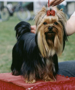 Slaider Of New Deal yorkshire terrier