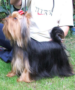 Starlit Of New Deal yorkshire terrier