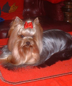 Step by Step Of New Deal yorkshire terrier