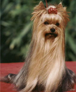 Twyster Of New Deal yorkshire terrier