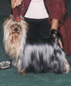 Yahoo Of New Deal yorkshire terrier